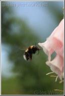 FOXGLOVE AND BEE
