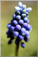 blue mini flower