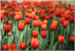 red tulip forest