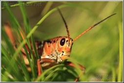 lubber grasshopper looking