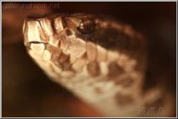 venomous cottonmouth